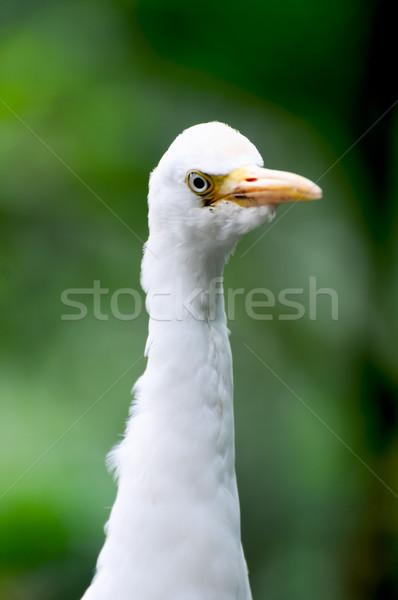Egret bird close up Stock photo © calvste