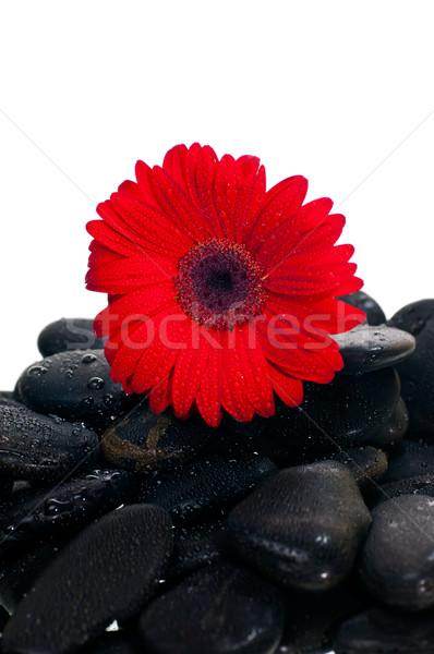 красный цветок черный zen каменные белый Сток-фото © calvste