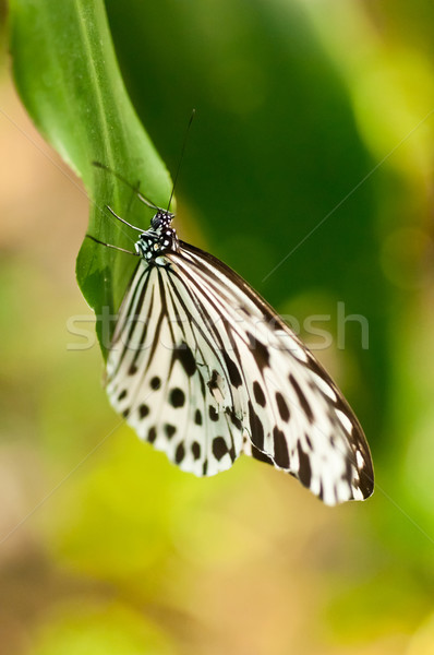 Black and white butterfly Stock photo © calvste