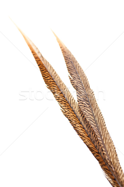 Golden pheasant tail feathers Stock photo © calvste