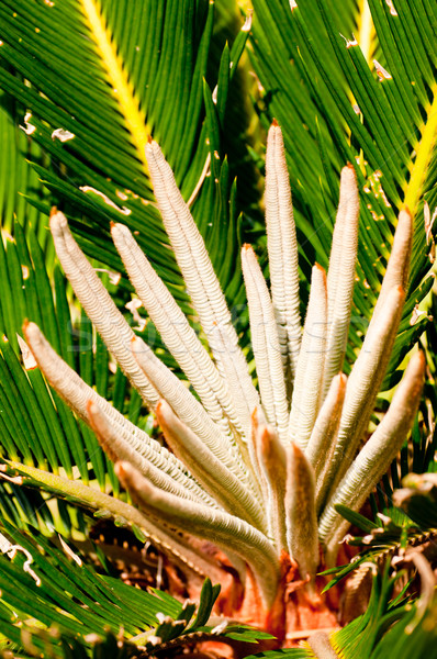 Sago palm young shoots close up Stock photo © calvste