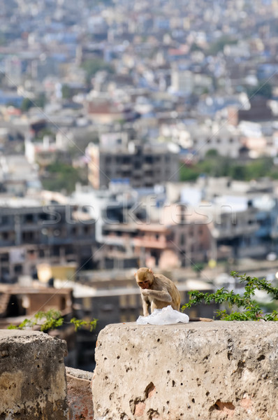 Macaque monkey with plastic bag in Jaipur Stock photo © calvste