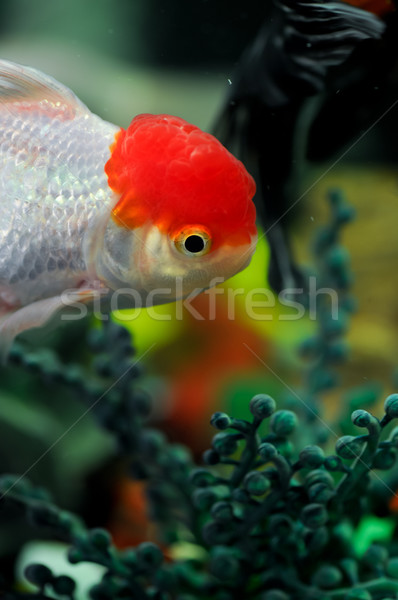 Red cap oranda swimming close to the bottom Stock photo © calvste