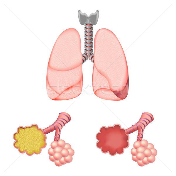 Alveoli In And Lungs Stock photo © cammep