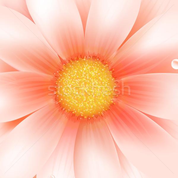 Pink Gerber Macro Stock photo © cammep
