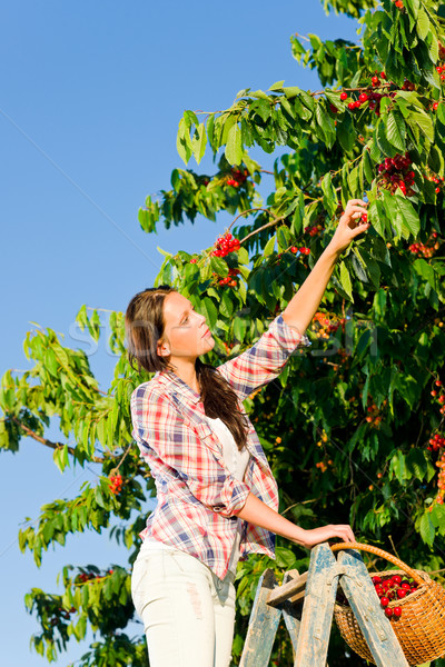 Cherry tree harvest summer woman sunny countryside  Stock photo © CandyboxPhoto
