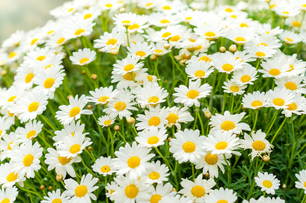 Daisy flower garden shop retail store Stock photo © CandyboxPhoto