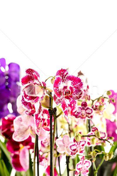 Colorful Orchidaceae on white background Stock photo © CandyboxPhoto