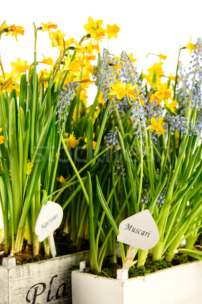 Muscari and narcissus spring potted flower Stock photo © CandyboxPhoto