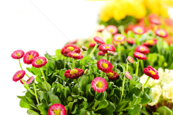 Bellis potted plant spring flower Stock photo © CandyboxPhoto
