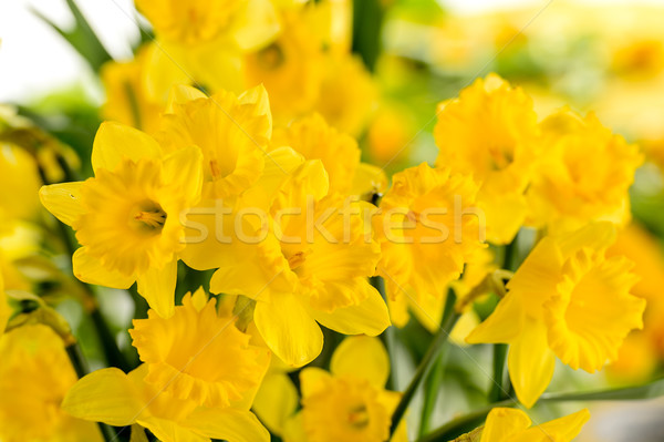 Detail of yellow narcissus spring flower Stock photo © CandyboxPhoto