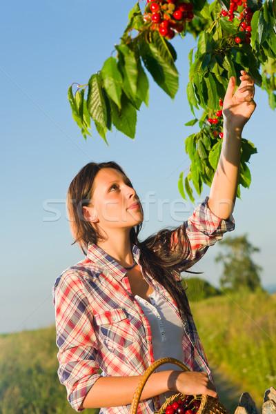 Foto stock: Cereza · árbol · mujer · alto · rama · verano
