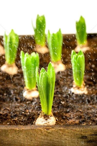 Stok fotoğraf: Fide · sümbül · bahar · çiçekleri · büyüyen · su · doğa