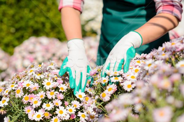 Kezek kertészkedés kesztyű érintés százszorszép virágágy Stock fotó © CandyboxPhoto