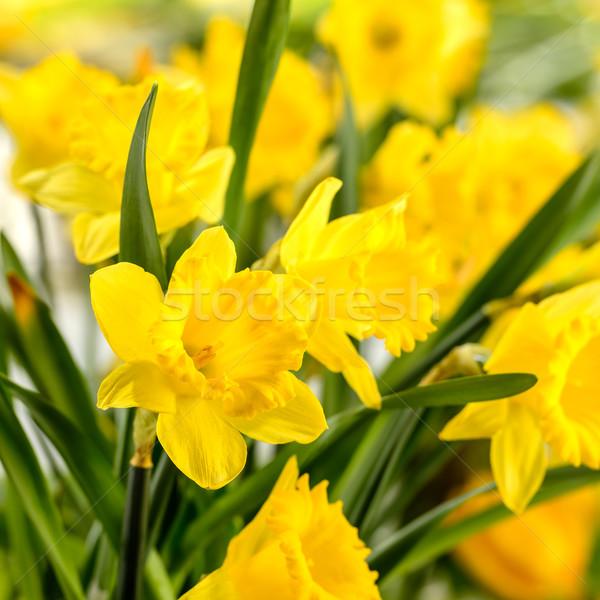 Közelkép citromsárga tavaszi virág virág természet növény Stock fotó © CandyboxPhoto