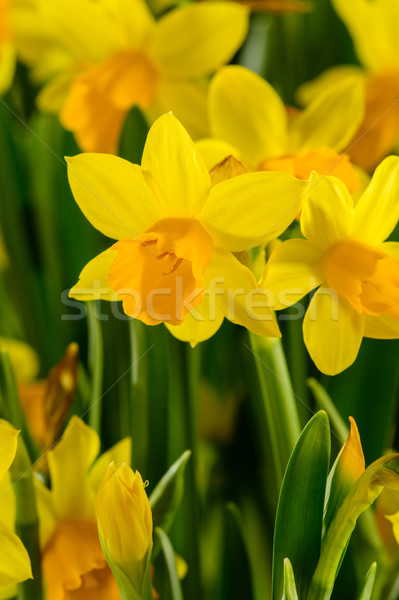 Yellow narcissus spring flowers Stock photo © CandyboxPhoto