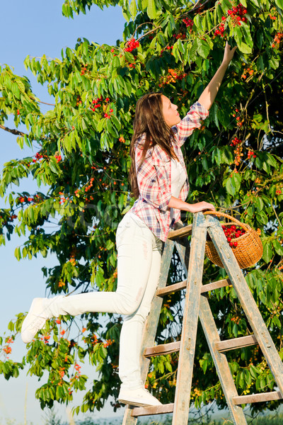 Cherry tree harvest summer woman climb ladder Stock photo © CandyboxPhoto