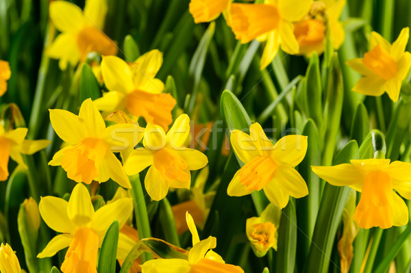 Spring flowers yellow narcissus Stock photo © CandyboxPhoto