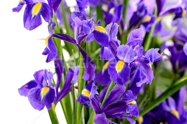 Részlet lila írisz tavaszi virág kék fehér Stock fotó © CandyboxPhoto