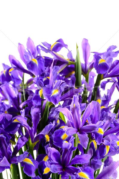 Flores de primavera azul iris blanco flor ramo Foto stock © CandyboxPhoto