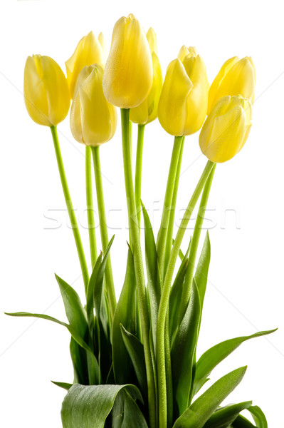 Yellow tulips flowers with long stalk Stock photo © CandyboxPhoto