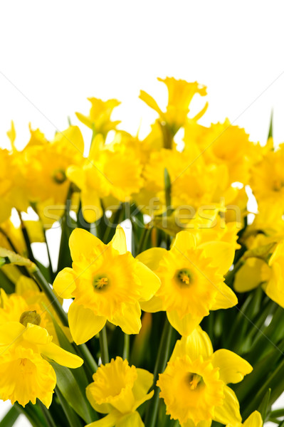 Spring flowers yellow narcissus on white background Stock photo © CandyboxPhoto