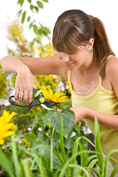Gardening - woman cutting sunflower with pruning shears Stock photo © CandyboxPhoto