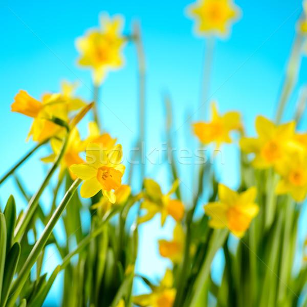 весенние цветы желтый синий природы завода свежие Сток-фото © CandyboxPhoto
