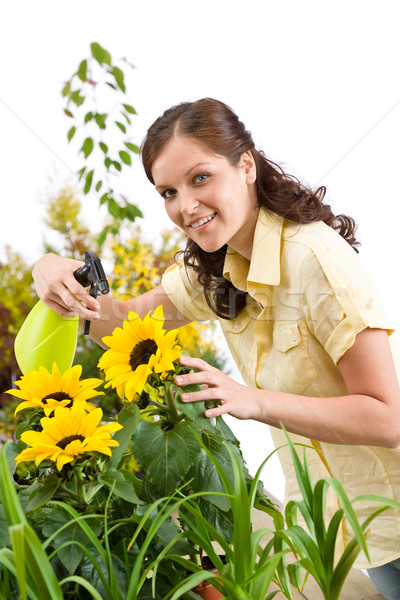 Stock photo: Gardening - woman sprinkling water on sunflower blossom