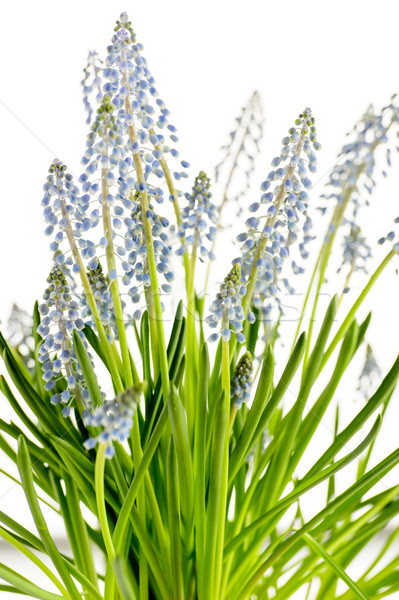 Muscari blue spring flower potted plant Stock photo © CandyboxPhoto