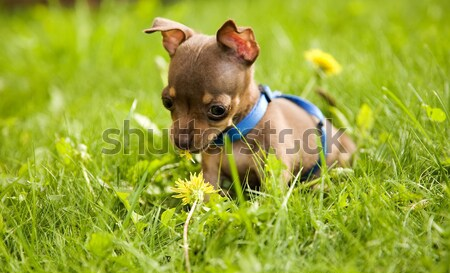Little dog called toy terrier and grass Stock photo © carenas1