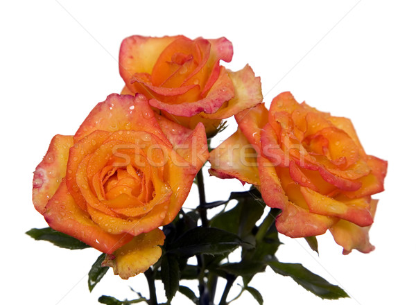 Orange rose with green leaves Stock photo © carenas1