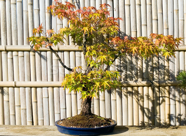盆栽 ポット 庭園 日本語 自然 工場 ストックフォト © carenas1