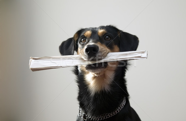 Dog with metal chain is holding newspaper Stock photo © carenas1