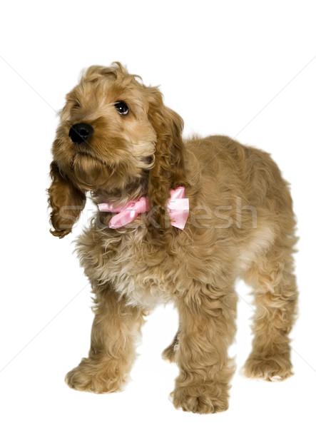 Dog with pink ribbon is standing and watching Stock photo © carenas1