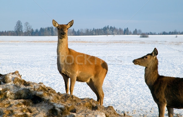 A brown deer in winter Stock photo © carenas1