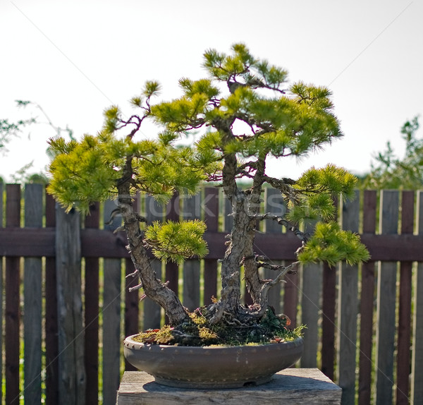 Bonsai pot bahçe Japon doğa bitki Stok fotoğraf © carenas1