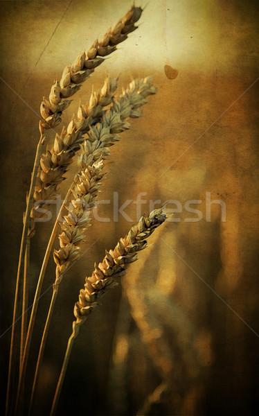 żyto kłosie charakter żywności dziedzinie pszenicy Zdjęcia stock © carenas1