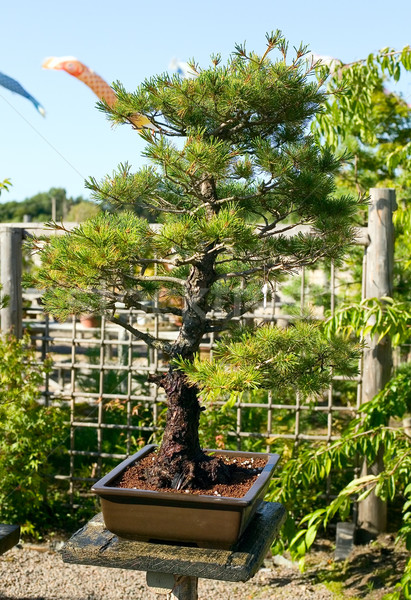 Bonsai edény kert japán természet növény Stock fotó © carenas1