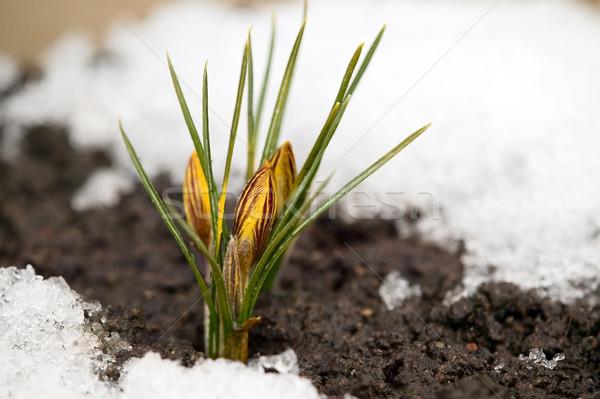 желтый цветок почвы снега вокруг весны природы Сток-фото © carenas1