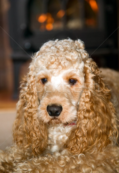 Cocker spaniel with big ears Stock photo © carenas1