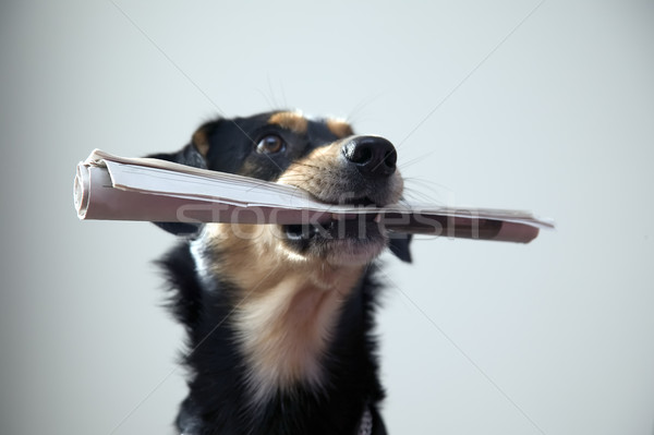 Stock photo: Dog with metal chain is holding newspaper