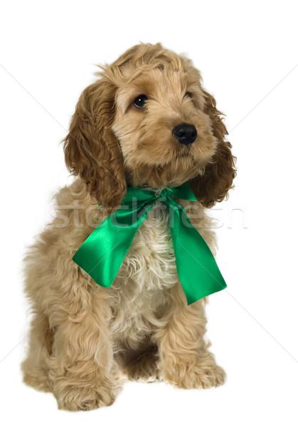 Kutya zöld szalag ül néz fehér Stock fotó © carenas1