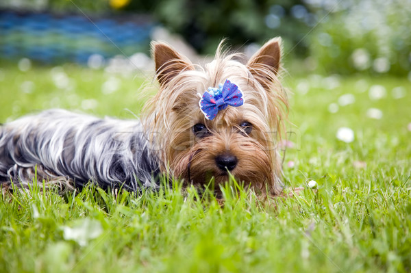 Yorkshire terrier chien ruban belle bleu Photo stock © carenas1