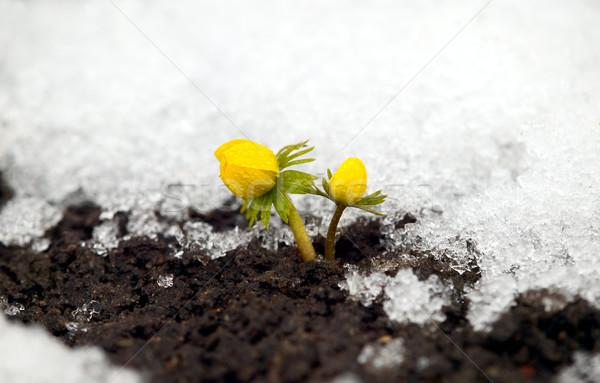 Yellow flower on soil, snow around Stock photo © carenas1
