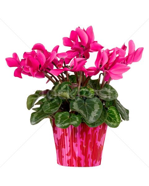 Flor-de-rosa vermelho pote folhas verdes verão verde Foto stock © carenas1