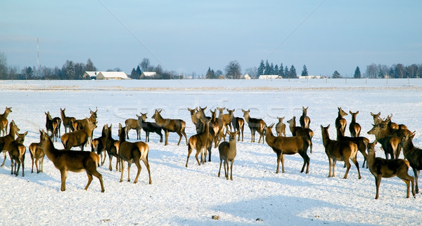 A deer herd in winter Stock photo © carenas1