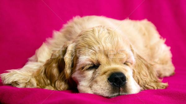 Dormir cachorro perro rosa fondo jóvenes Foto stock © carenas1
