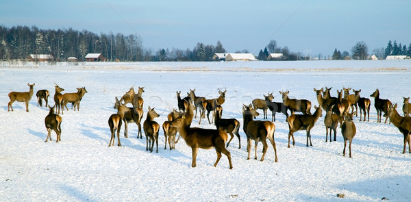Veado rebanho inverno campos neve animal Foto stock © carenas1