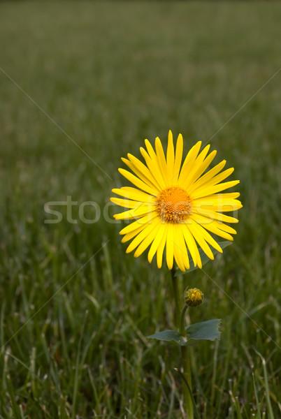 Yellow flower Stock photo © carenas1